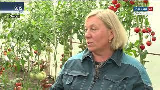 Томаты весом почти в один килограмм научились выращивать омские садоводы