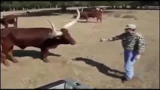 Funny cow  Funny video clip   YouTube