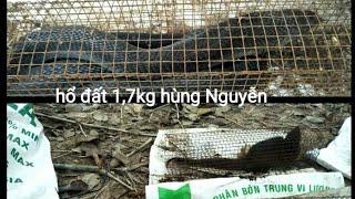 bẫy rắn #33 lần đầu tiên dính hổ đất 1,7kg