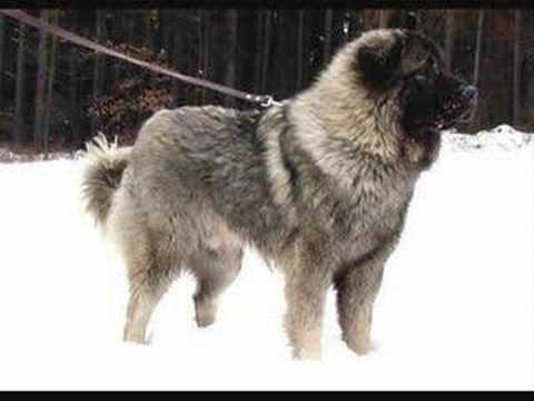 Illyrians Sheepdog Deltari Ilir Sharr Mountain Dog