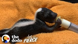 Bald Baby Skunks Grow Up Doing The Cutest Thing | The Dodo Little But Fierce