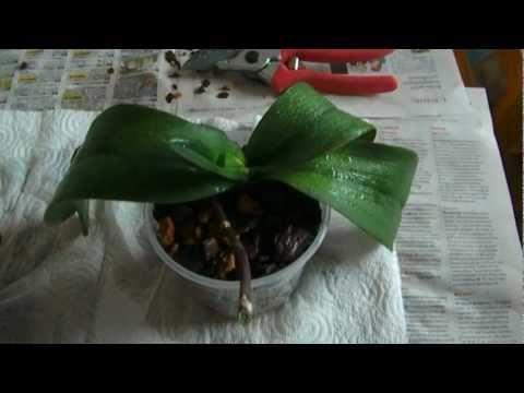 orchideen richtig umtopfen schneiden 2 2 youtube. Black Bedroom Furniture Sets. Home Design Ideas