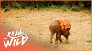 Orphaned Baby Elephant Grows Up With The Best Human Friends | Real Wild
