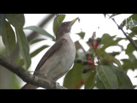 Baixar Canto dos pássaros do Vale do Itajaí