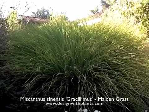 miscanthus sinensis 39 gracillimus 39 maiden grass youtube. Black Bedroom Furniture Sets. Home Design Ideas
