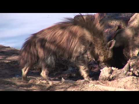 Learn more about Brown Hyenas at Shamwari