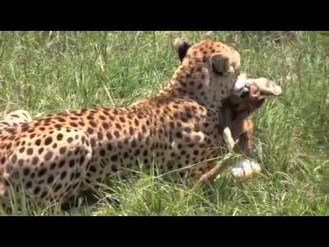 Mara Cheetah Hunt