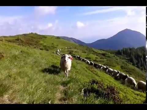 Мармароські вівці