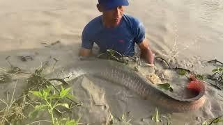Unbelievable Cast Net Fishing Big Catch 75KG Giant Arowana