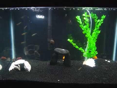 Black Neon Tetras 10 Gallon Tank Youtube
