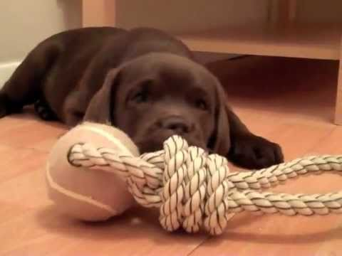 Gorgeous chocolate lab puppy - Samba