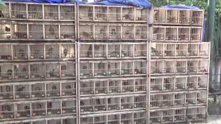 Mua bán chim Họa Mi  - Web hoichimcanh.com - Chuyên mua bán chim cảnh