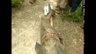 Giết cá da trơn khổng lồ quý để ăn, 5 người Ấn Độ bị bắt