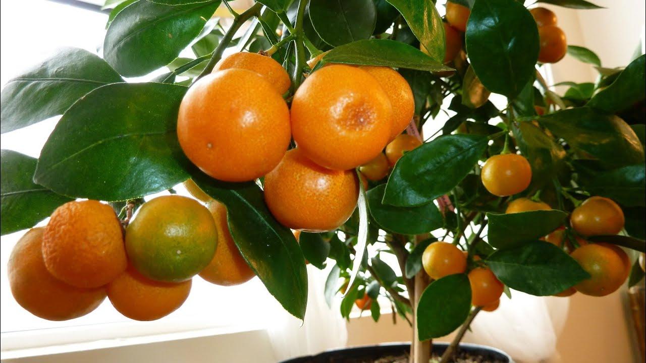 Calamondin Orange Update Best Indoor Citrus Plant