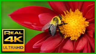 Breathtaking Colors of Nature in 4K II 🌹🌷 Beautiful Flowers - Sleep Relax Music UHD TV Screensaver