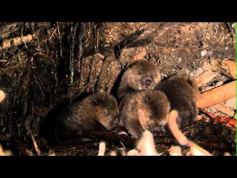 Expeditionen ins Tierreich - Das Havelland: Europäischer Biber