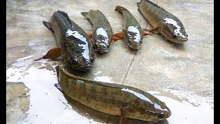 How to cook Spotted Snakehead Fish curry Complet Process | Mattagudisa Spicy recipes