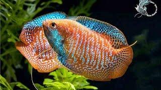 Choáng với các loài cá cảnh đẹp nuôi trong hồ thuỷ sinh