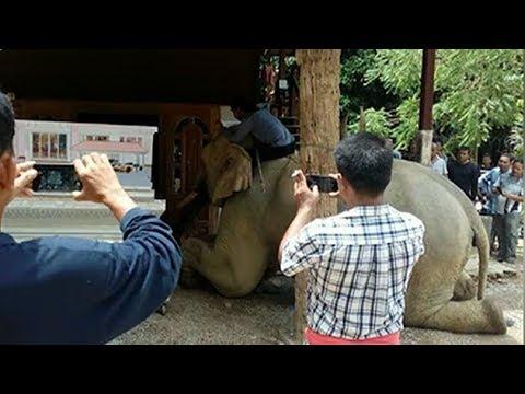 น้ำตาไหล...ช้างกตัญญูถอนหลัก วิ่งมากราบศพควาญครั้งสุดท้าย ลูกชายขอเลี้ยงดูต่อจนกว่าจะตายจากกัน