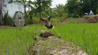 Bẩy Chim Cu Gáy Sóc Trăng ( Thành ) Bổi Háo Đá Lên Bờ Xuống Ruộng 15-1-2018 HếtDung Lượng Giửa Chừng