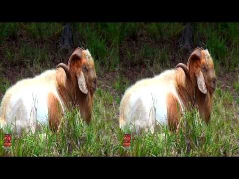 3D Videos Goat Hawaii Nature Scene - 3D Video Everyday N°50
