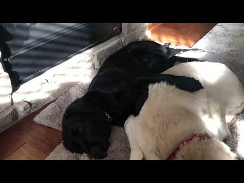 Sweetest thing!! My guide dog and retired guide spooning and hugging in front of the fire