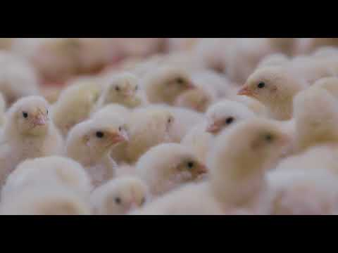 video Commercial Day-Old OLAM Pullets (Lohmann Classic Brown)