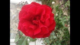 Ngắm 10 loại hoa hồng cổ đẹp nhất mọi thời đại