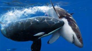 Killer Whale Vs Great White (Full Nature) - Wildlife Documentary   Orca Kills Shark
