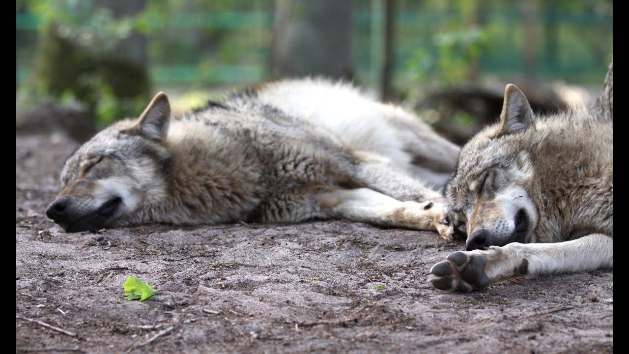 können sich wölfe und hunde miteinander verpaaren