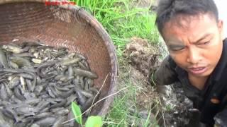 Bắt Cá Rô Đồng Mắc Cạn Mò Một Hang Cá Nữa Thúng - Catch Fishing