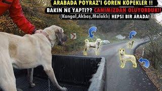 KANGAL POYRAZ'A KAFA TUTMANIN SONU BAKIN NE OLDU!!! (Kangal , Akbaş , Malaklı Hepsi Bir Arada)