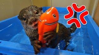 魚のおもちゃだと強気にでるカワウソのビンゴ Fish toy for Otter Bingo in the bathtub