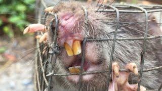 Vlog 34 :Bẩy Chuột Cống Nhum Hóc Môn Con Chuột thốn Nhất Năm Là Đây 😂🤗 #Youtubelãngtử