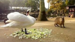 カピバラVS白鳥