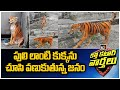 Stray dog found painted to look like Tiger