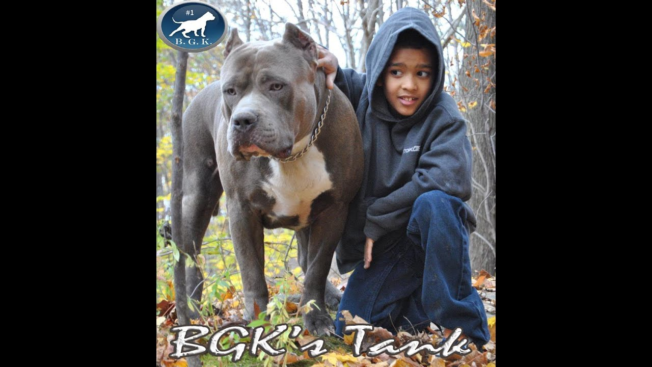 Biggest Blue Xl Bully Pitbull Bgk S Tank 2 Years 157
