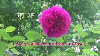春(4月~5月)のお庭♪ Spring(April-May) Garden Introduction♪