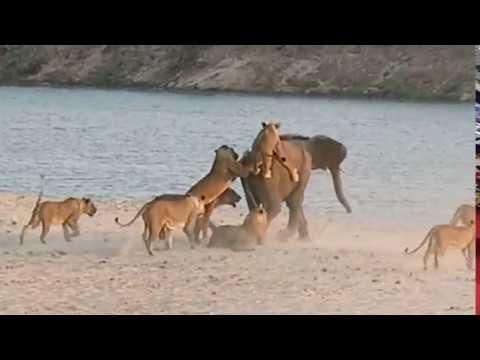 Kako preživeti napad 14 lavova?