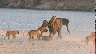 Слонёнок отбил атаку 14 львиц