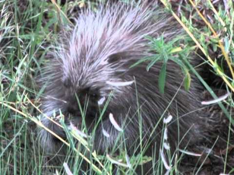 Norm the porcupine