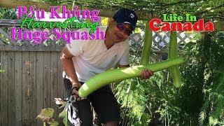 🇨🇦88》 Thu hoạch được trái bầu khủng đầu tiên | Harvesting organic vegetables