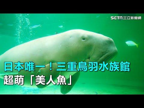 日本唯一!三重鳥羽水族館超萌「美人魚」|三立新聞網SETN.com