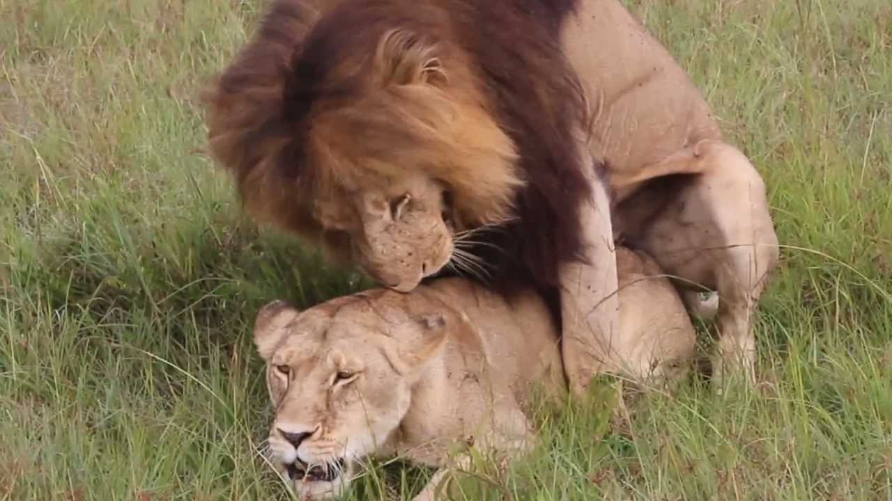 lion 6 sex tube