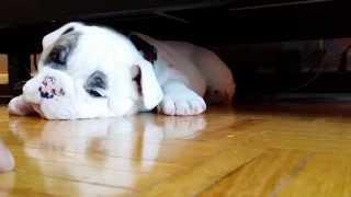 Grumbling Puppy