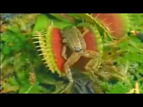 venus flytrap plant and frog relationship