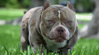 [NEW VIDEO] Louis V Line's Venom | Best Pocket American Bullies | The Home of Venomline