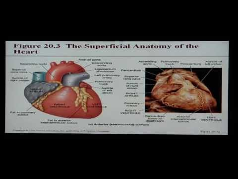 Anatomy and Physiology Help: Chapter 20 Cardiovascular ...