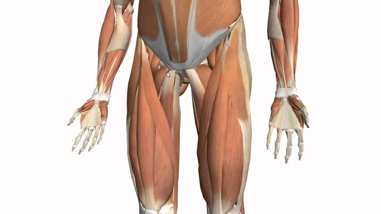 Muscles Of The Thigh Part 2