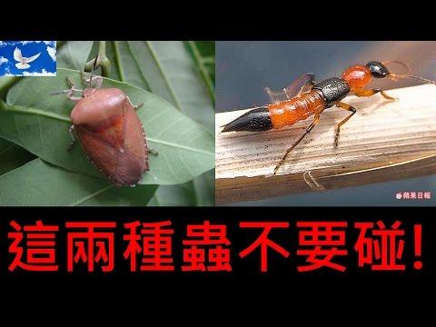 夏季蟲蟲危機! 荔枝椿象 x 隱翅蟲 | 三分鐘聊醫學EP5